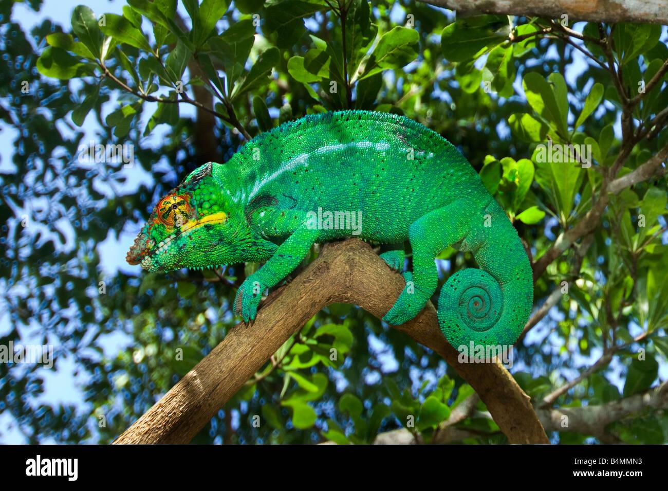 1 eine einzelnes grüne wilde Madagaskar (FURCIFER pardalis) männlichen Chamäleon auf Natur natürliches Stockbild