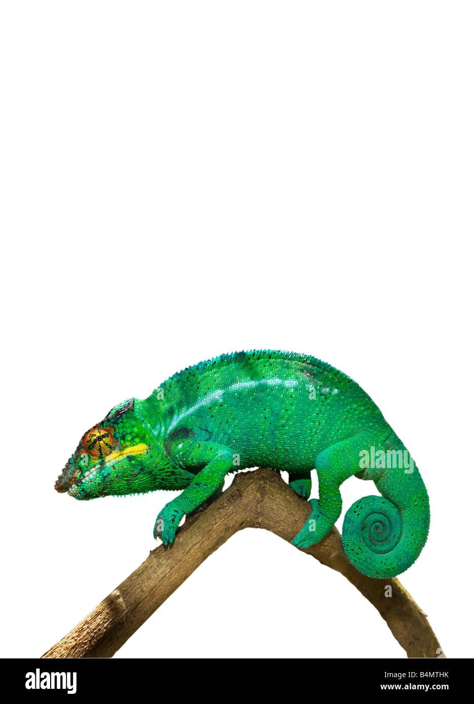 1 eine einzelnes grüne weiße Madagaskar (FURCIFER pardalis) männlichen Chamäleon auf einfarbigen Stockbild