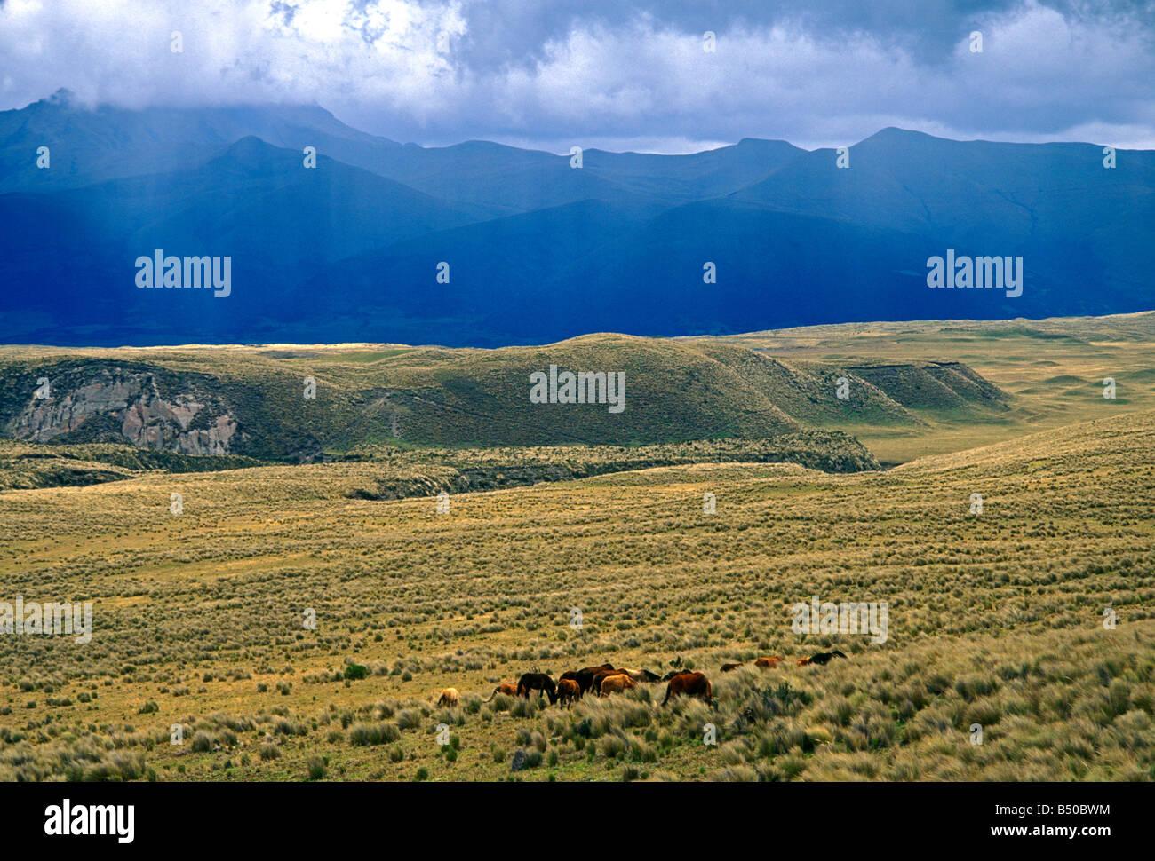 Wilde Pferde, Cotopaxi Vulkan Cotopaxi, Cotopaxi National Park, Parque Nacional Cotopaxi, der Provinz Cotopaxi, Stockbild