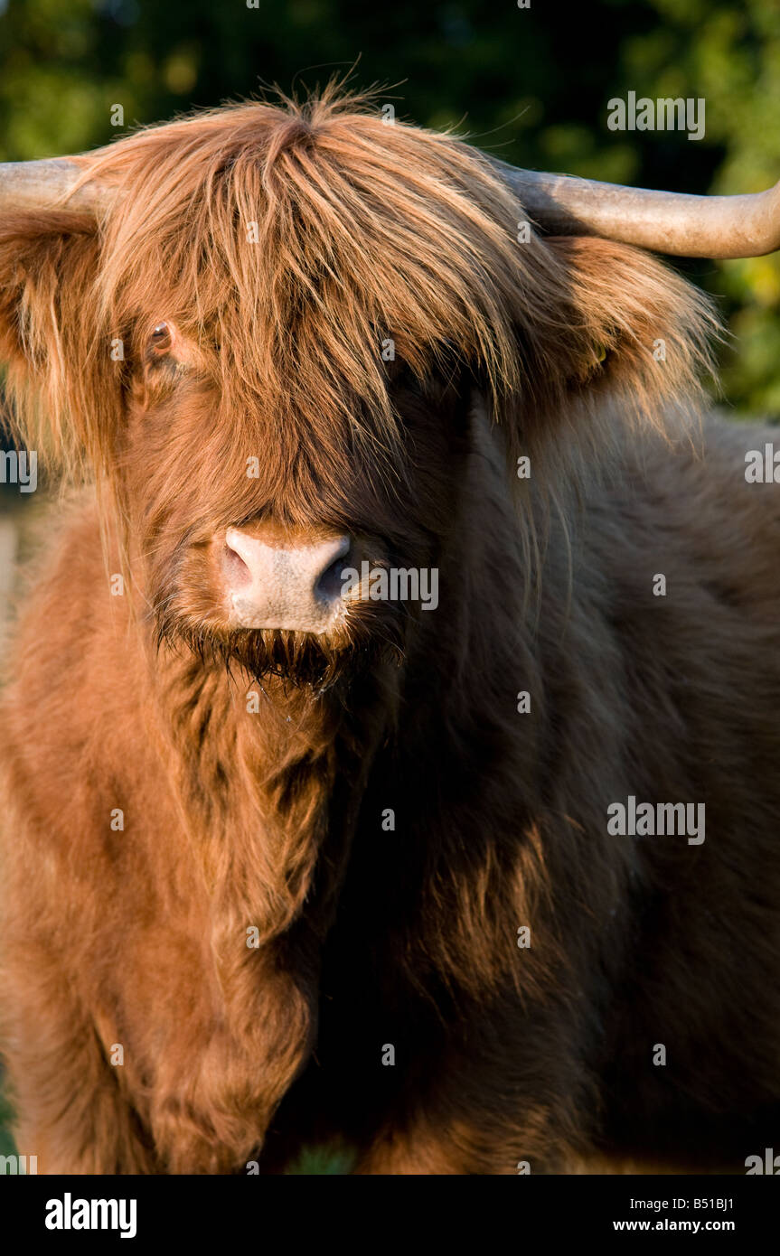 British Highland Cattle - Nahaufnahme Stockbild