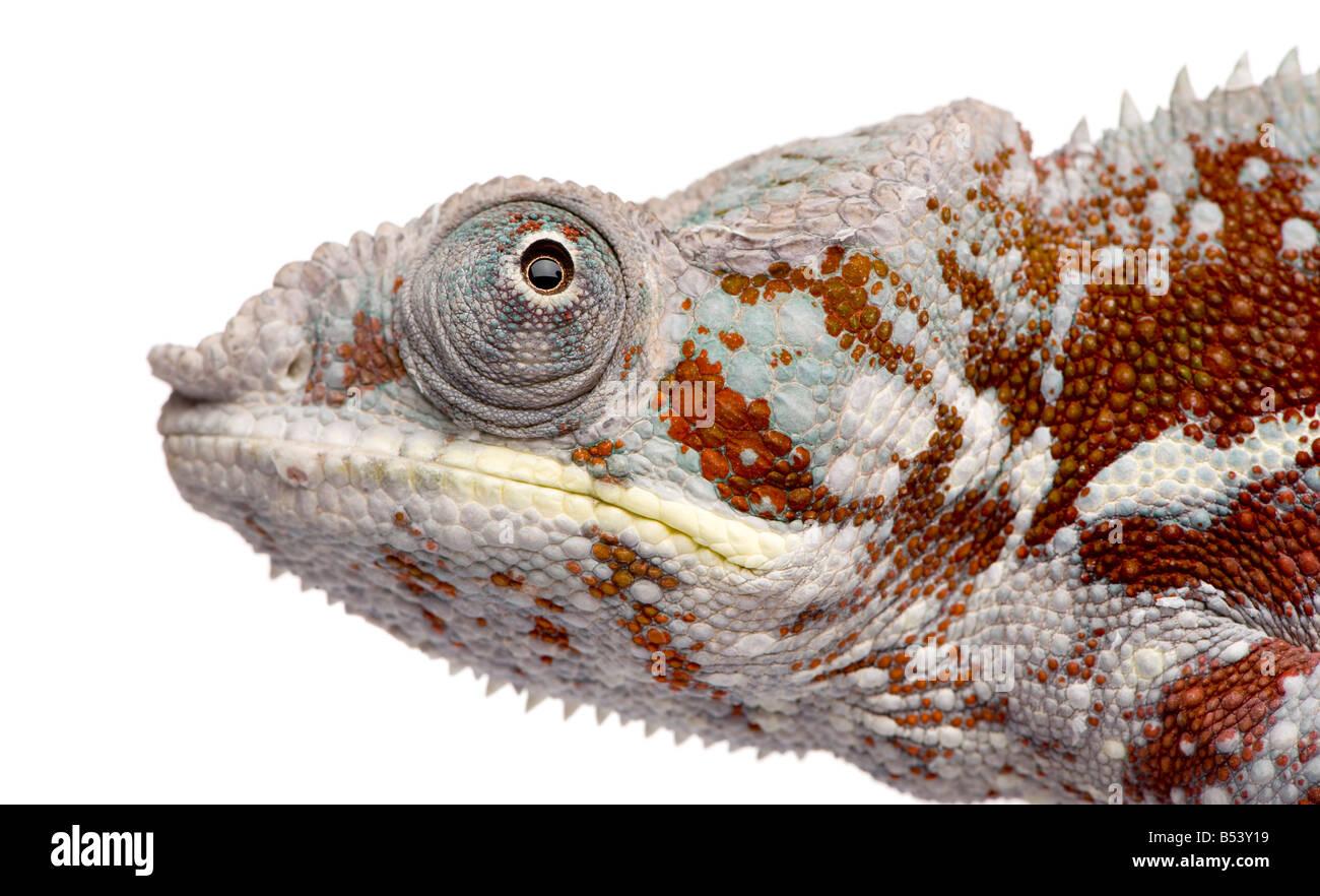 Chamäleon Furcifer Pardalis Masoala 4 Jahre vor einem weißen Hintergrund Stockbild