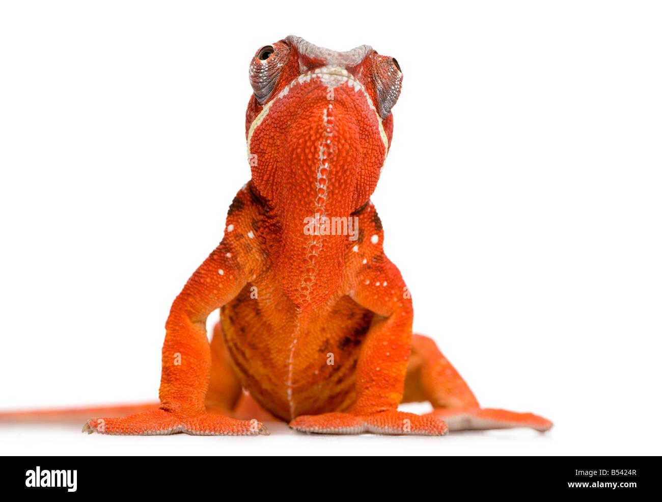 Chamäleon Furcifer Pardalis Sambava 2 Jahre vor einem weißen Hintergrund Stockbild