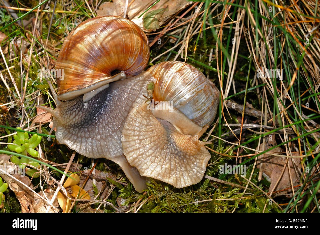 snails stockfotos snails bilder alamy. Black Bedroom Furniture Sets. Home Design Ideas