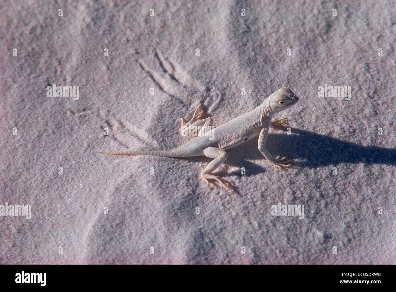 Eidechse, White Sands, neu Mexiko, USA, Nordamerika Stockbild