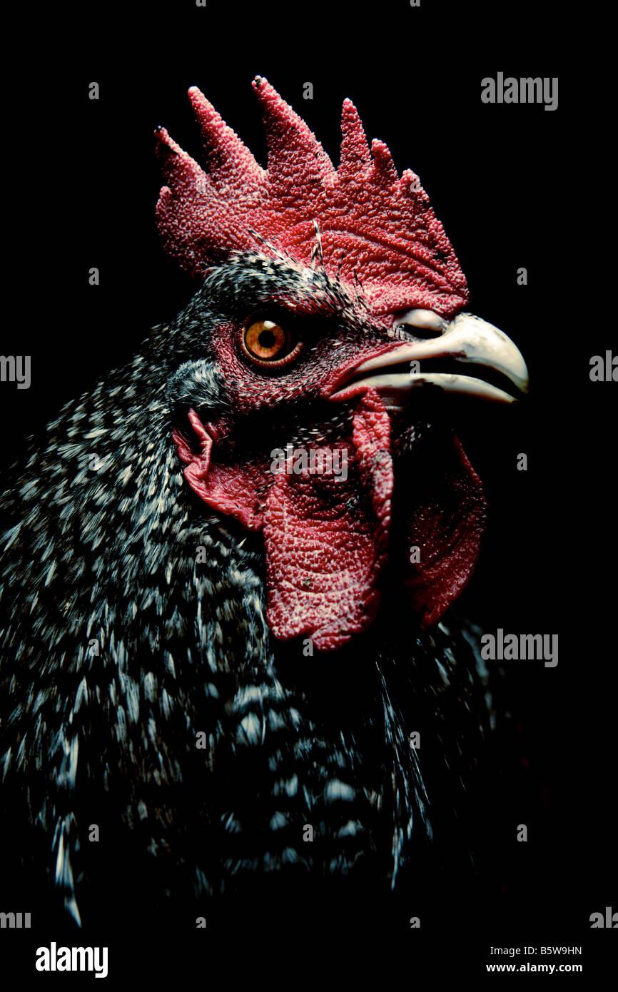 Porträt eines Hahns auf schwarzem Hintergrund Stockbild