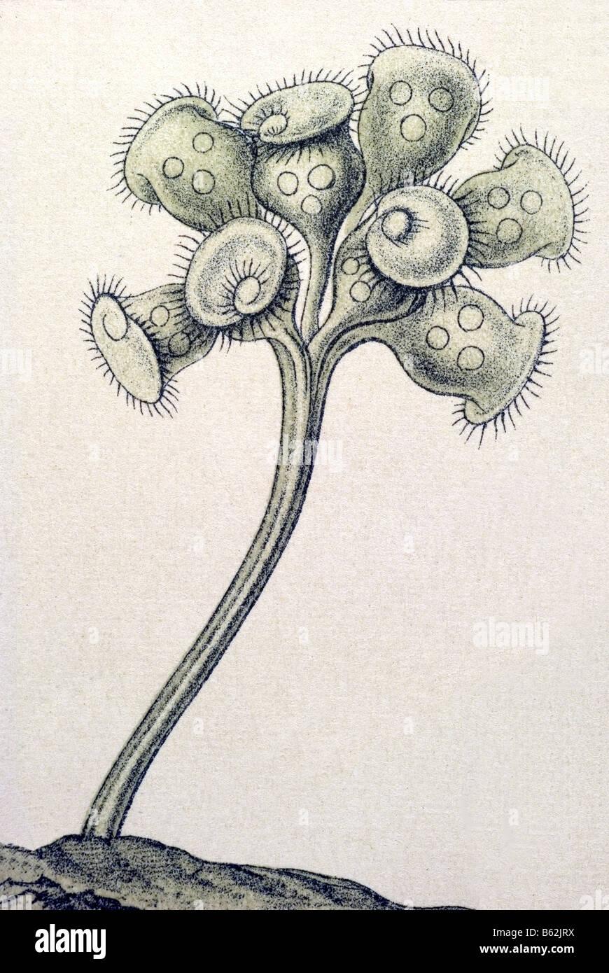 Ciliata / Wimperlinge Name Stentor, Haeckel, Kunstformen der Natur, Jugendstil, 20. Jahrhundert, Europa Stockfoto