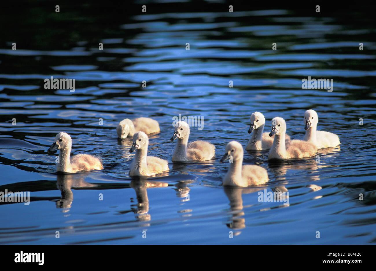 Holland, die Niederlande, Graveland. Junge Höckerschwäne (Cygnus Olor). Stockbild