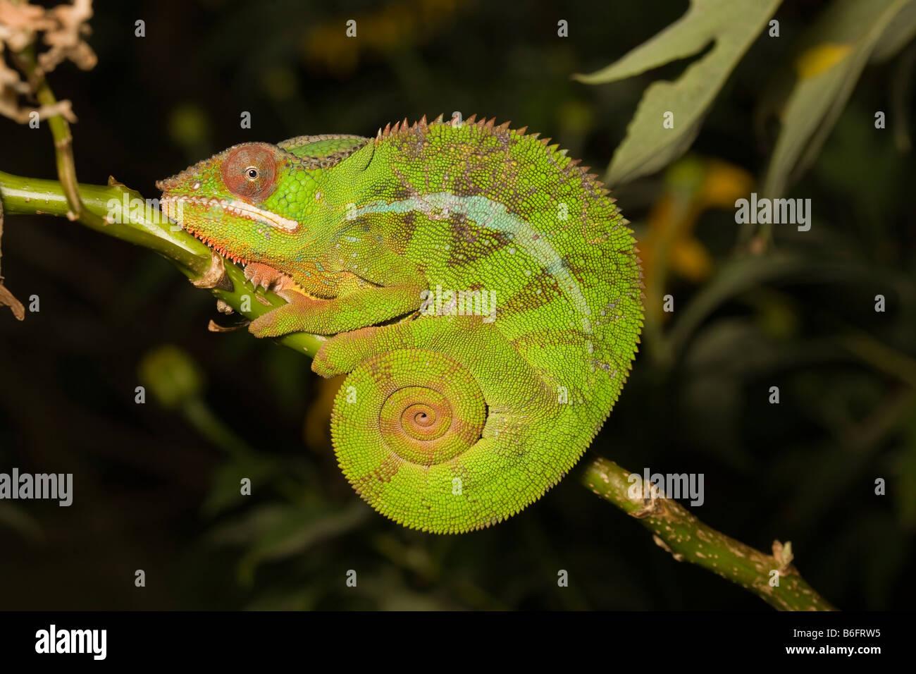 Panther Chamäleon Madagaskar. Wild - Versionen nicht erforderlich Stockbild