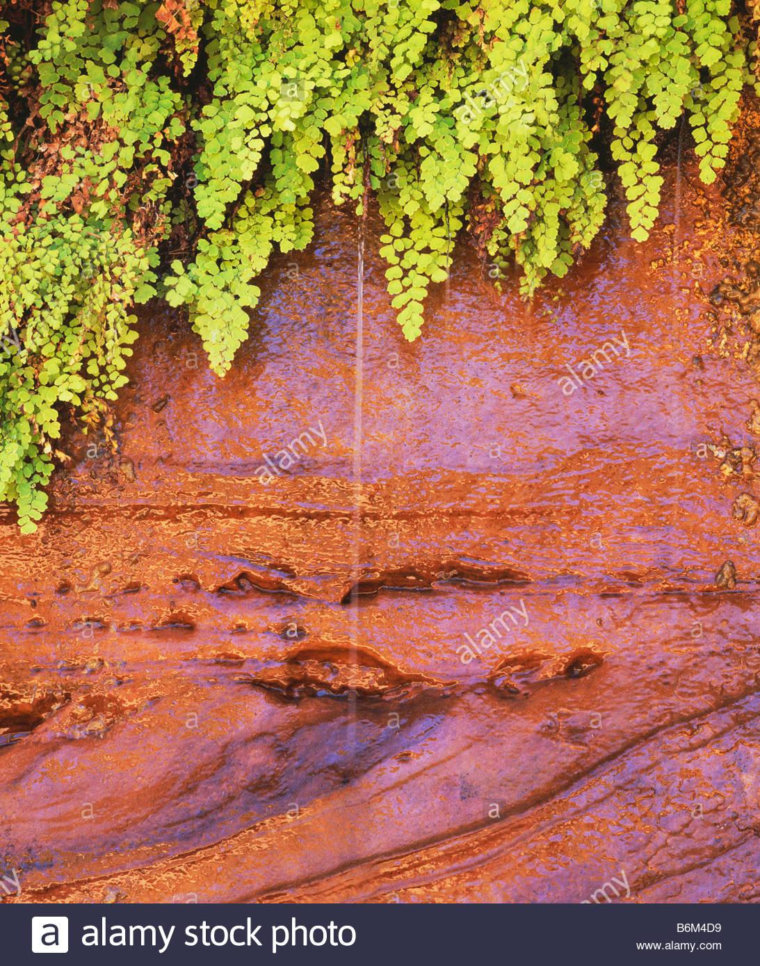 Detail der tausend Farn wächst aus einer hängenden Garten in Kane Frühling Canyon in der Nähe Stockbild