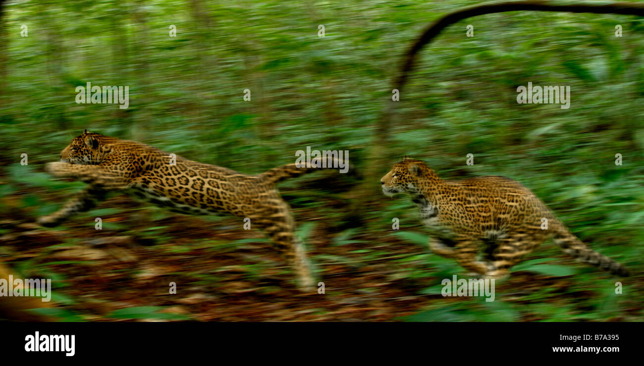 Panthera Onca ausgeführt Jaguare Stockbild