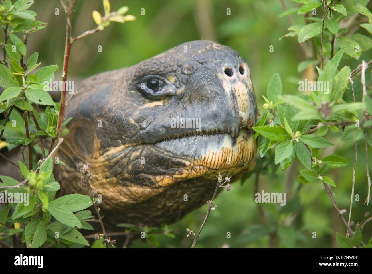 Riesige Schildkröte Kopf, Ecuador Galapagos, Santa Cruz Insel Stockbild