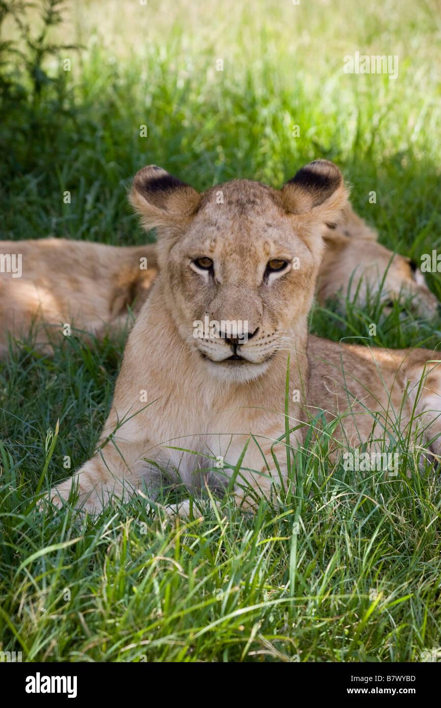 Young Lion Cub bei Lion Park South Africa Stockbild