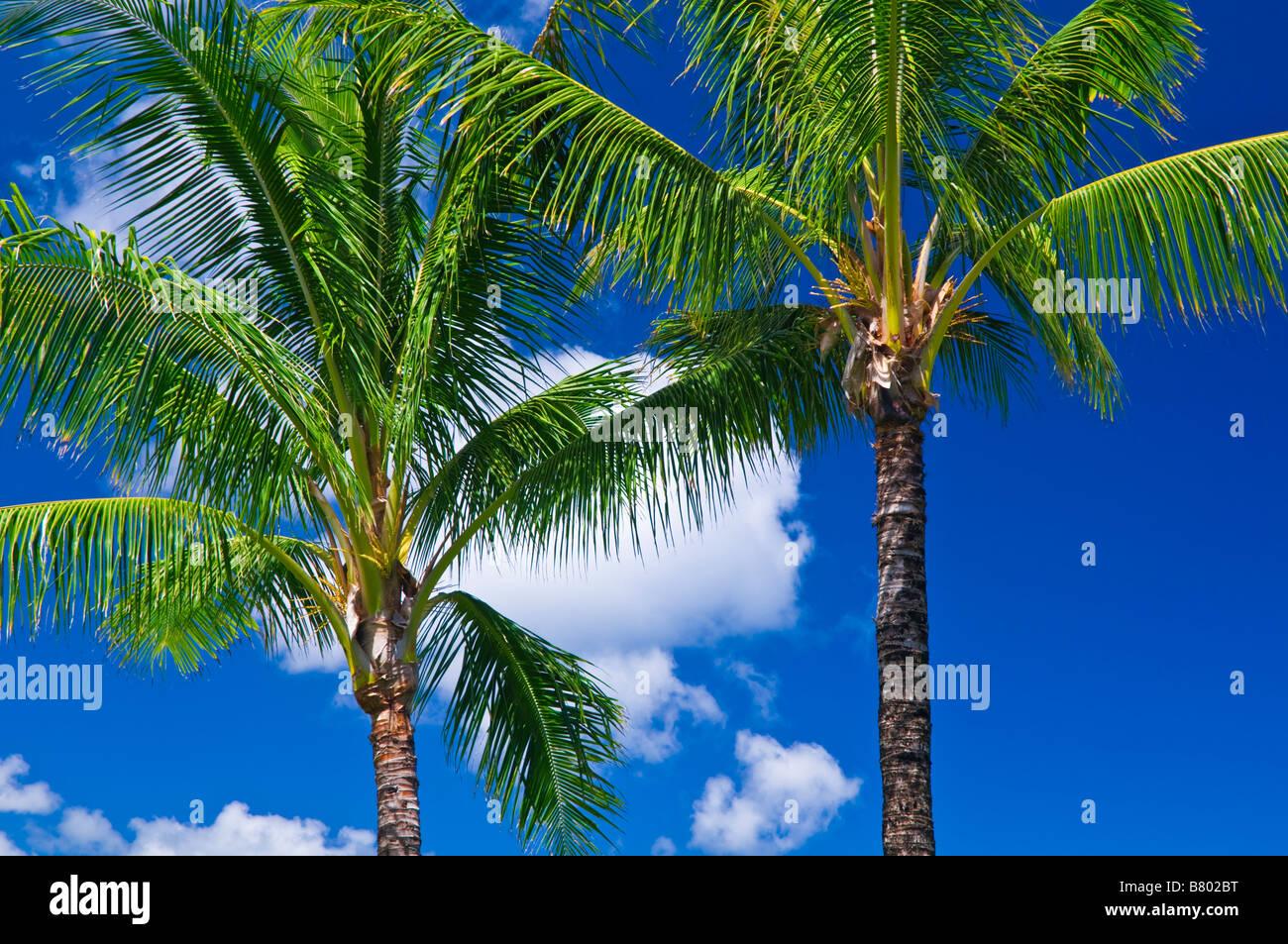 Kokos-Palmen und blauer Himmel Insel Kauai Hawaii Stockbild