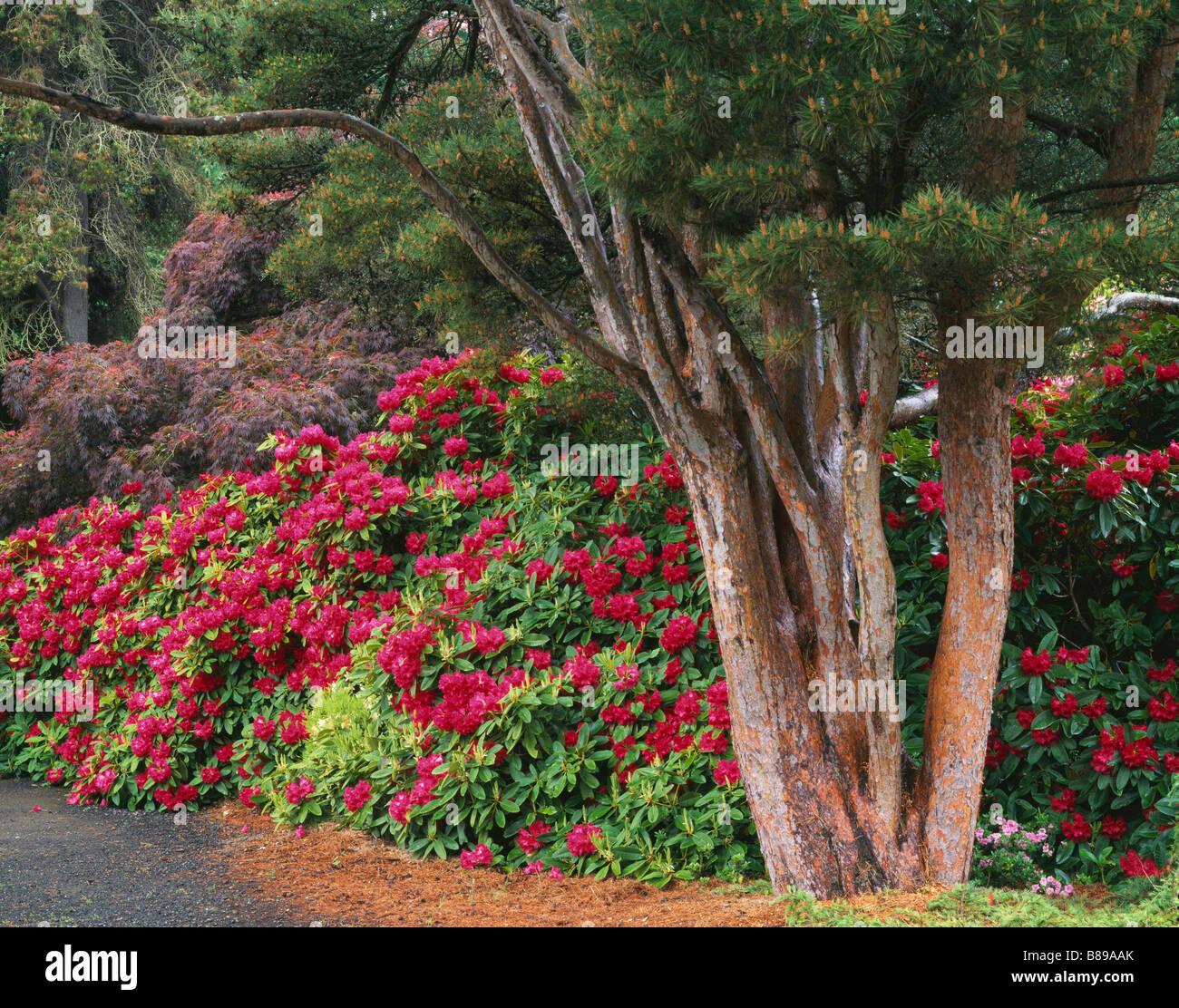 kubota garten seattle wa bl henden rhododendren und rote japanische ahorn baldachin masse unter. Black Bedroom Furniture Sets. Home Design Ideas