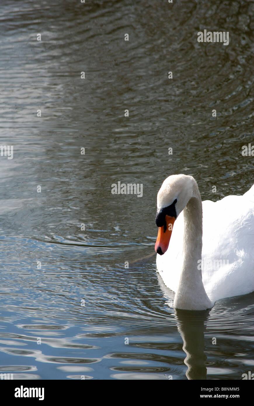 Schwan schwimmen in Richtung Kamera Stockbild