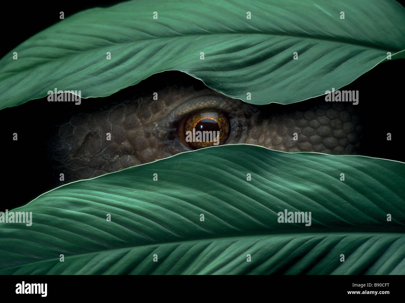 Konzepte # FL1150, Kitchin/Hurst; Reptil spähen durch Blätter Stockfoto
