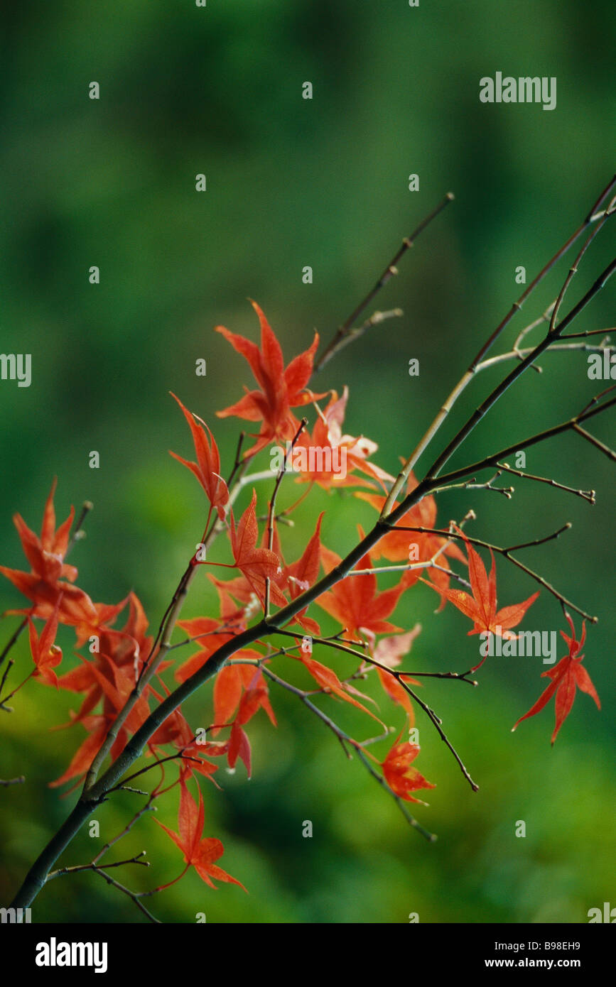 Herbstliche Blätter des japanischen Ahorn Stockbild