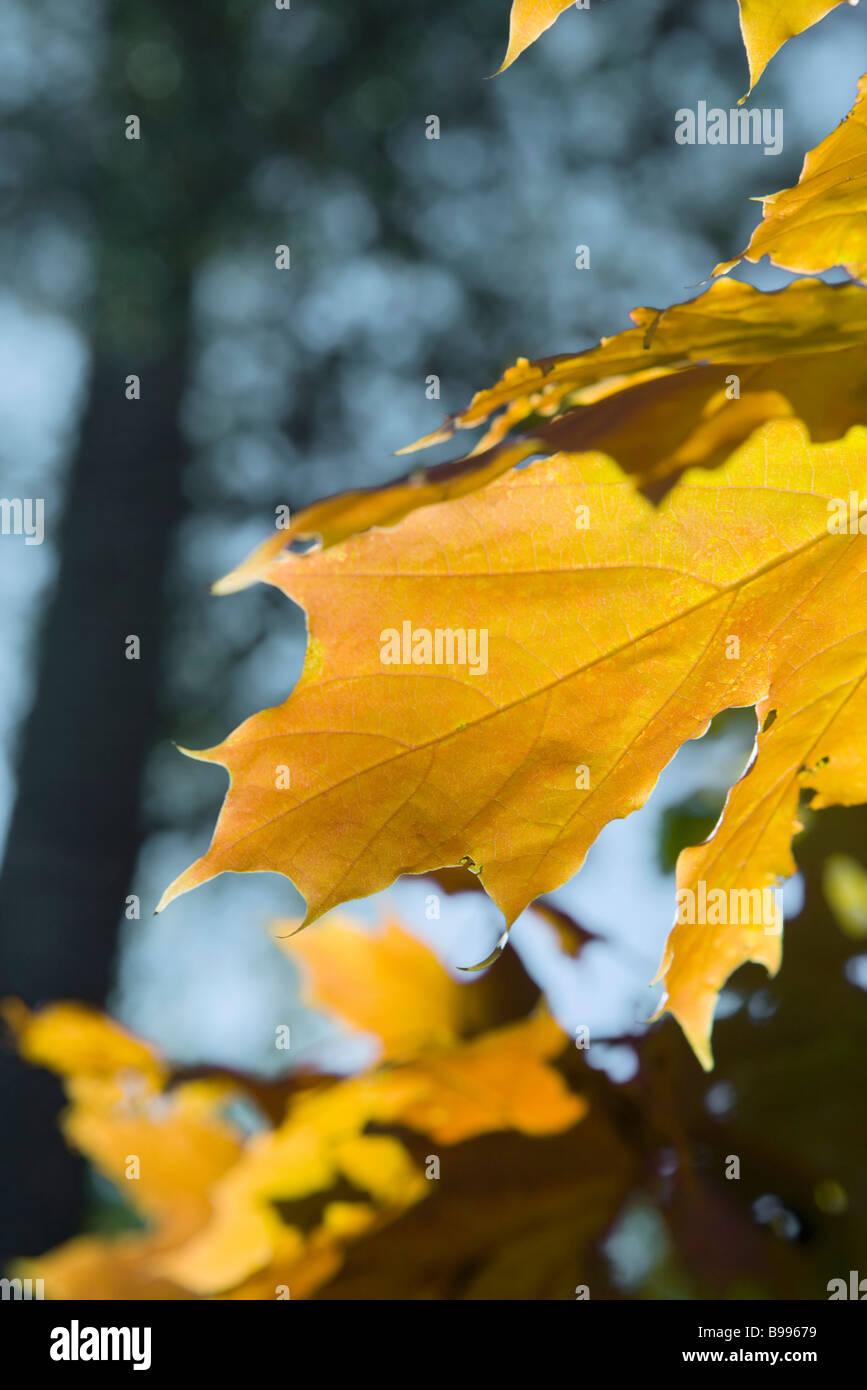 Goldene Blätter am Baum, extreme Nahaufnahme Stockbild
