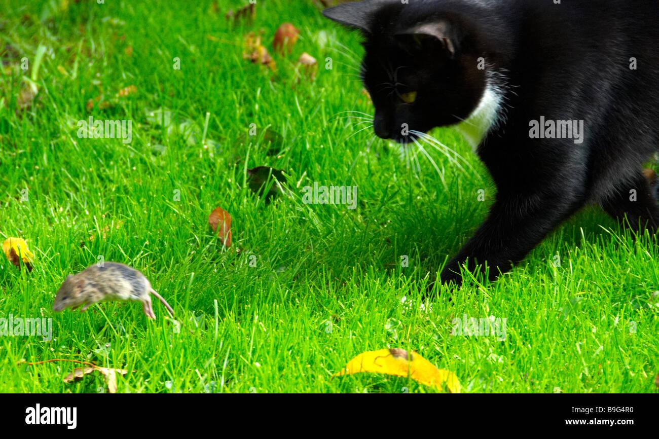 black cat hunting stockfotos black cat hunting bilder alamy. Black Bedroom Furniture Sets. Home Design Ideas