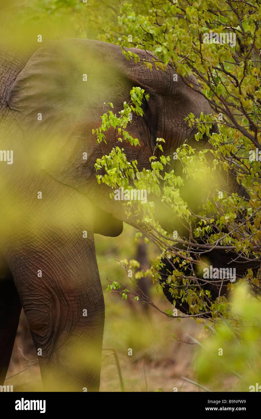 einen afrikanischen Elefanten füttern in den Busch, Krüger Nationalpark, Südafrika Stockbild