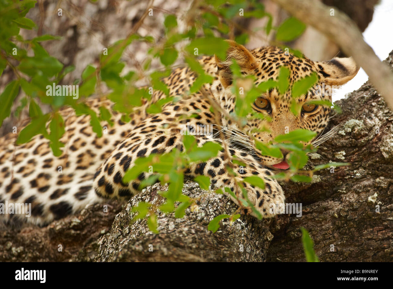 Leoparden ruht in einem Baum, Krüger Nationalpark, Südafrika Stockbild