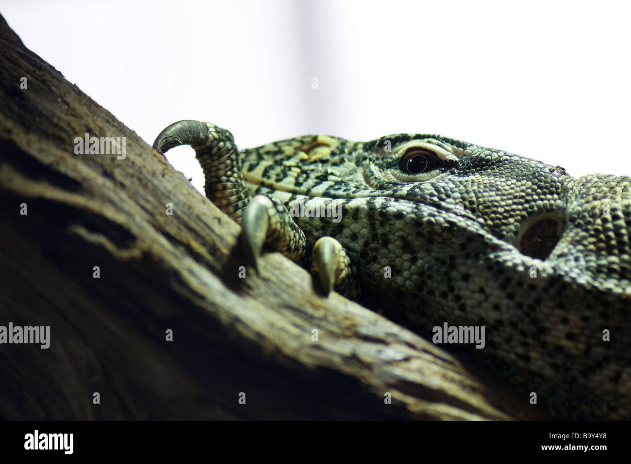 Nilwaran (Varanus Niloticus) Stockbild