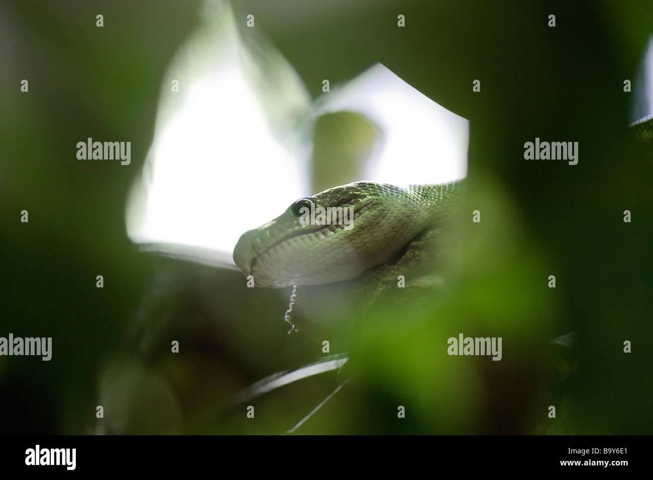 Kopf der Schlange versteckt im Laub Stockbild