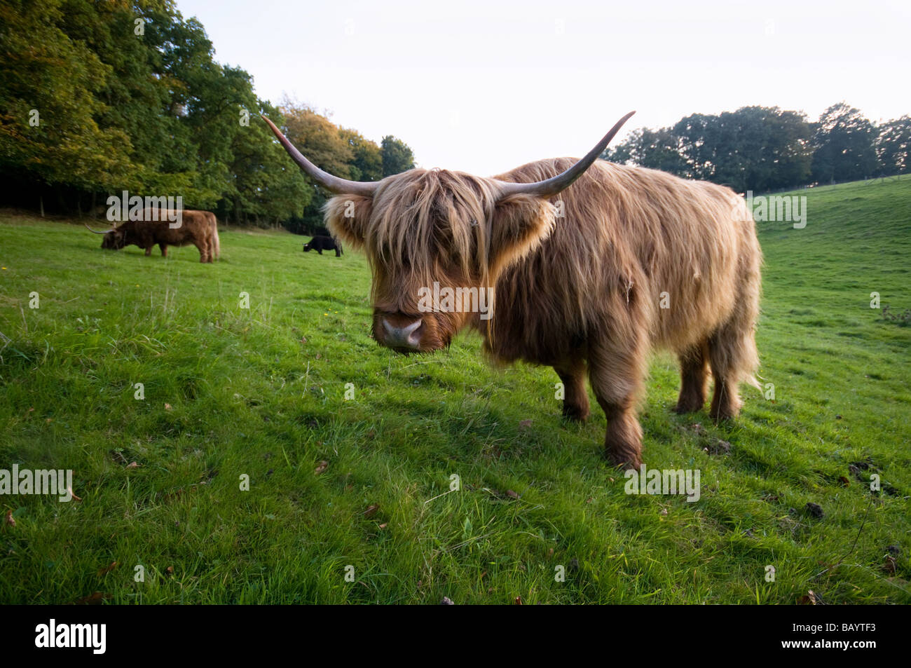 Braune neugierige Highland Kuh Stockbild