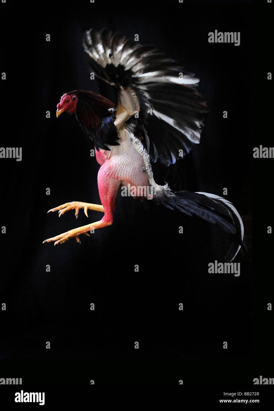Missbrauch von Aggression aggressive Tiere Antillen Antillen Angriff angreifen Wetten Blut Sport Bovenwinden Bovenwindse Stockbild