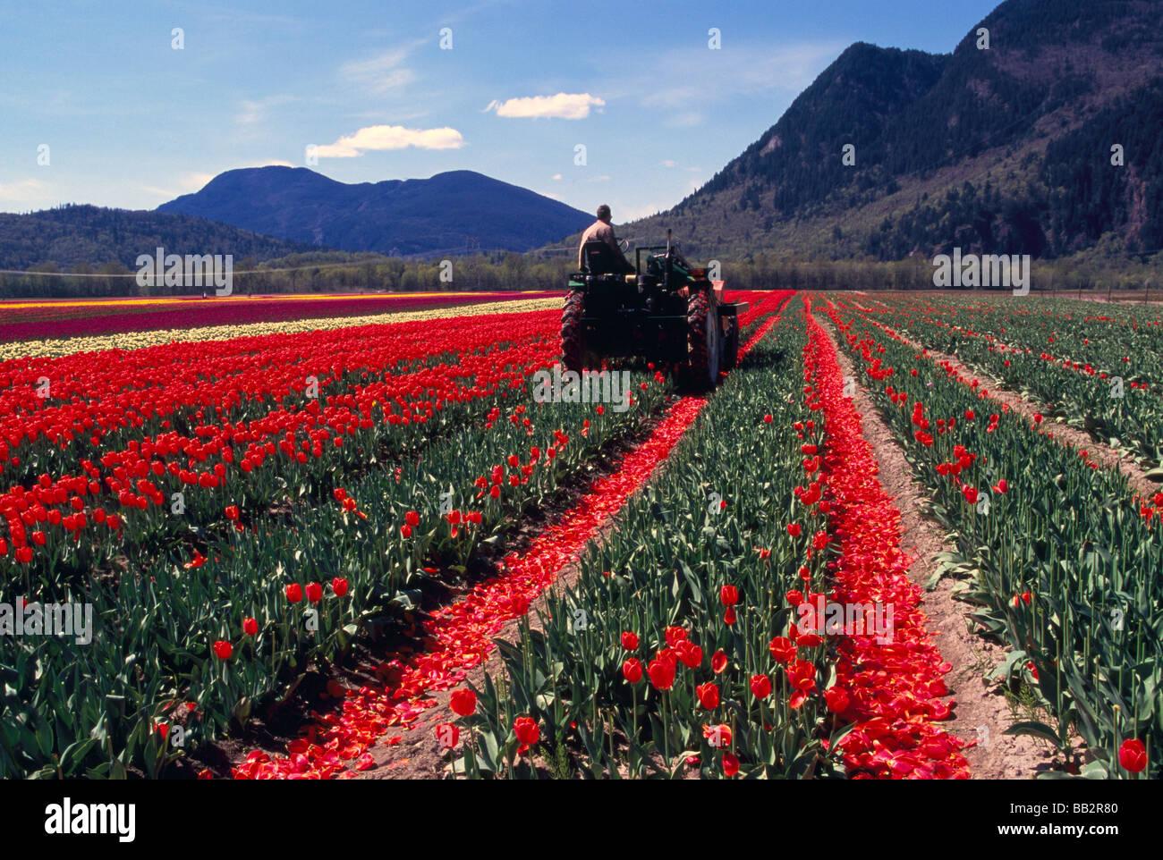 landwirt schneiden tulpen im feld f r leuchtmittel. Black Bedroom Furniture Sets. Home Design Ideas