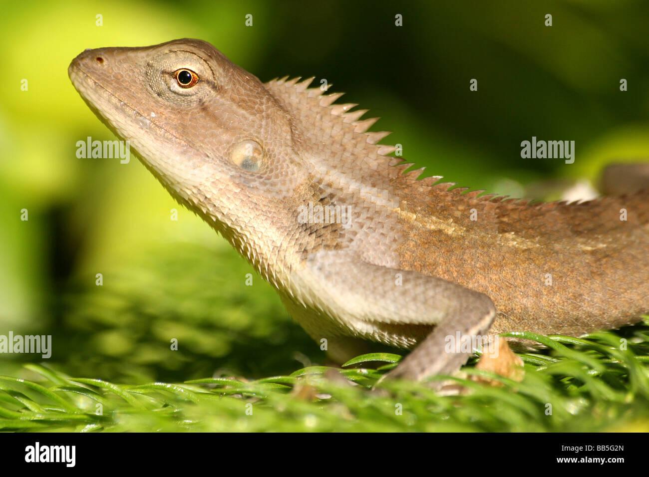 Nahaufnahme der Kopf des Oriental Garden Lizard Calotes versicolor Taken im Bundesstaat Assam, Indien Stockbild