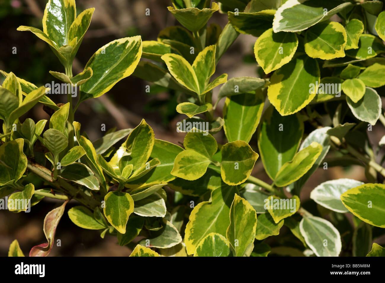 Evergreen euonymus stockfotos evergreen euonymus bilder for Evergreen pflanzen