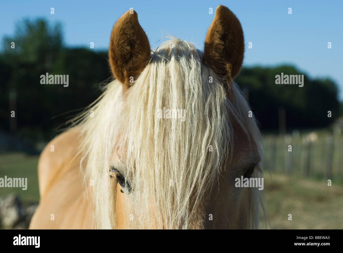 Pferd mit weißer Mähne, Nahaufnahme Stockbild