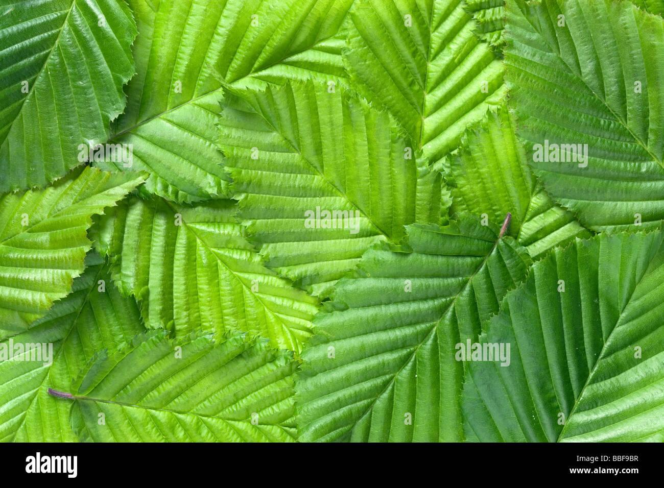 Blatt-Muster. Blätter der Hainbuche, Carpinus Betulus. Stockbild