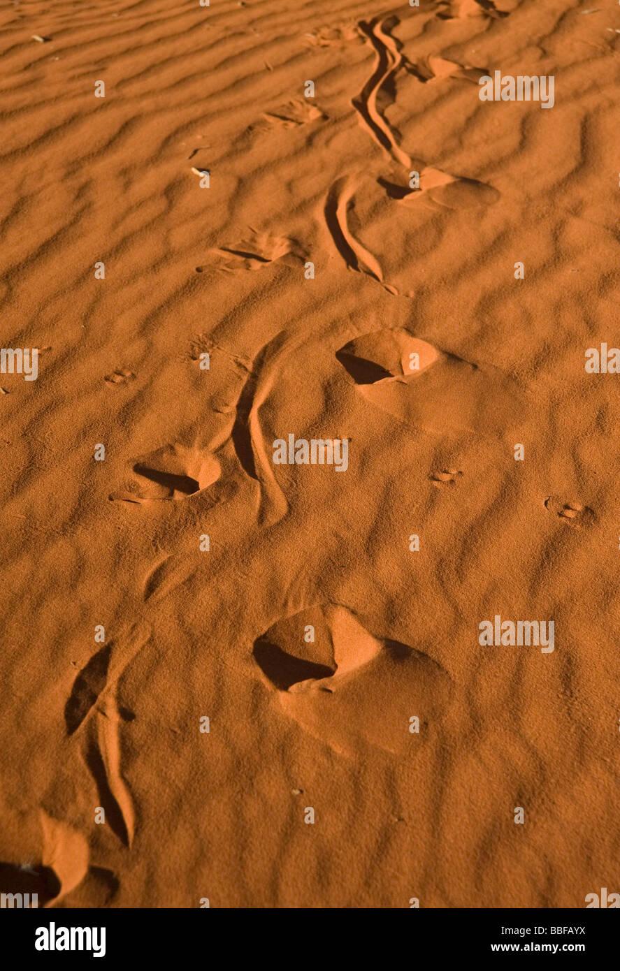 Perentie Goanna Varanus Giganteus Track läuft bis Sanddüne Stockbild