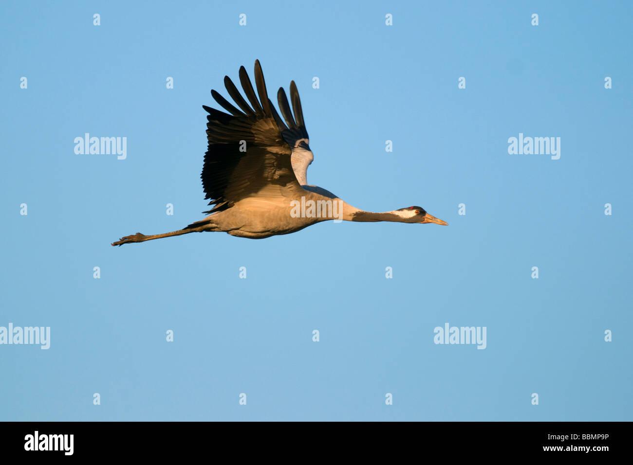 Kranich (Grus Grus), fliegen im letzten Tageslicht, Hornborgasee, Vaestergoetland, Schweden, Skandinavien, Europa Stockbild