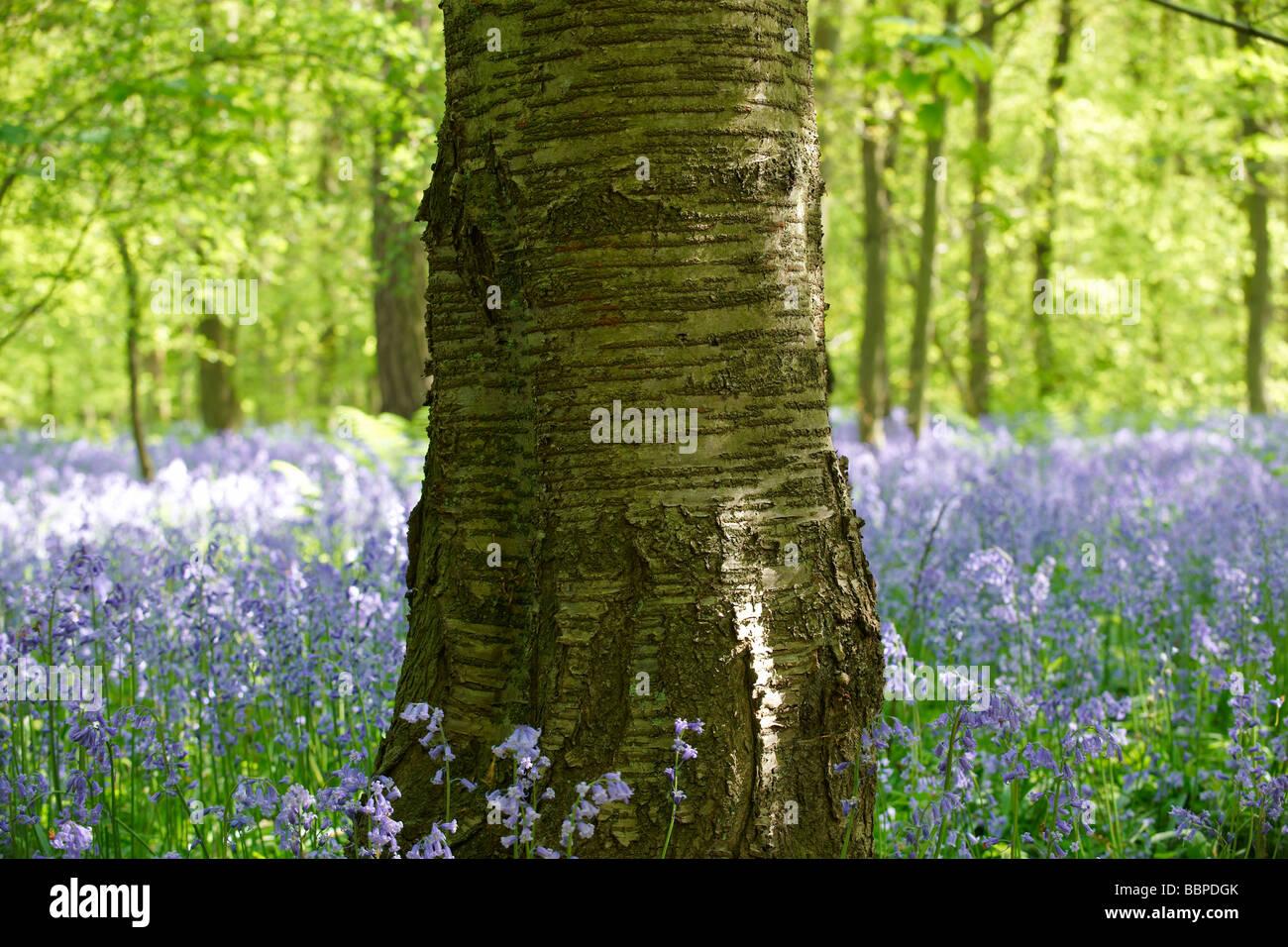 Baum steht in einem Holz voller Glockenblumen Stockbild