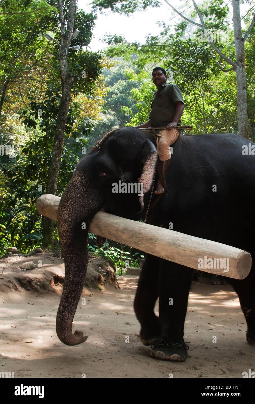 Indien Kerala Peryar inländischen asiatischen Elefanten und Mahout mit schweren Log im Elefantencamp 2009-01 Stockbild