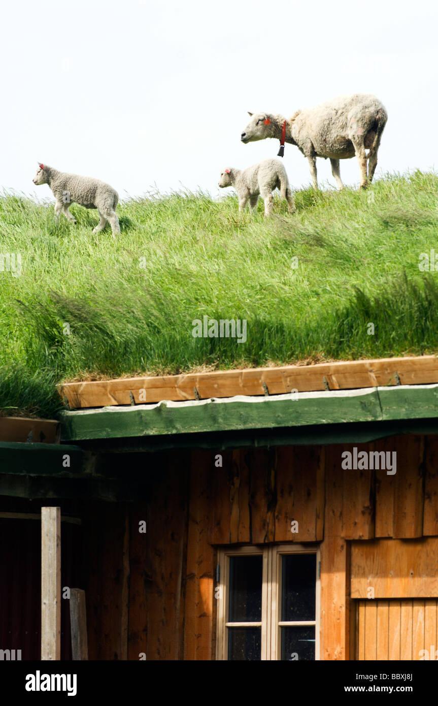 Schafe auf dem Dach Lofoten Inseln Norwegens. Stockfoto
