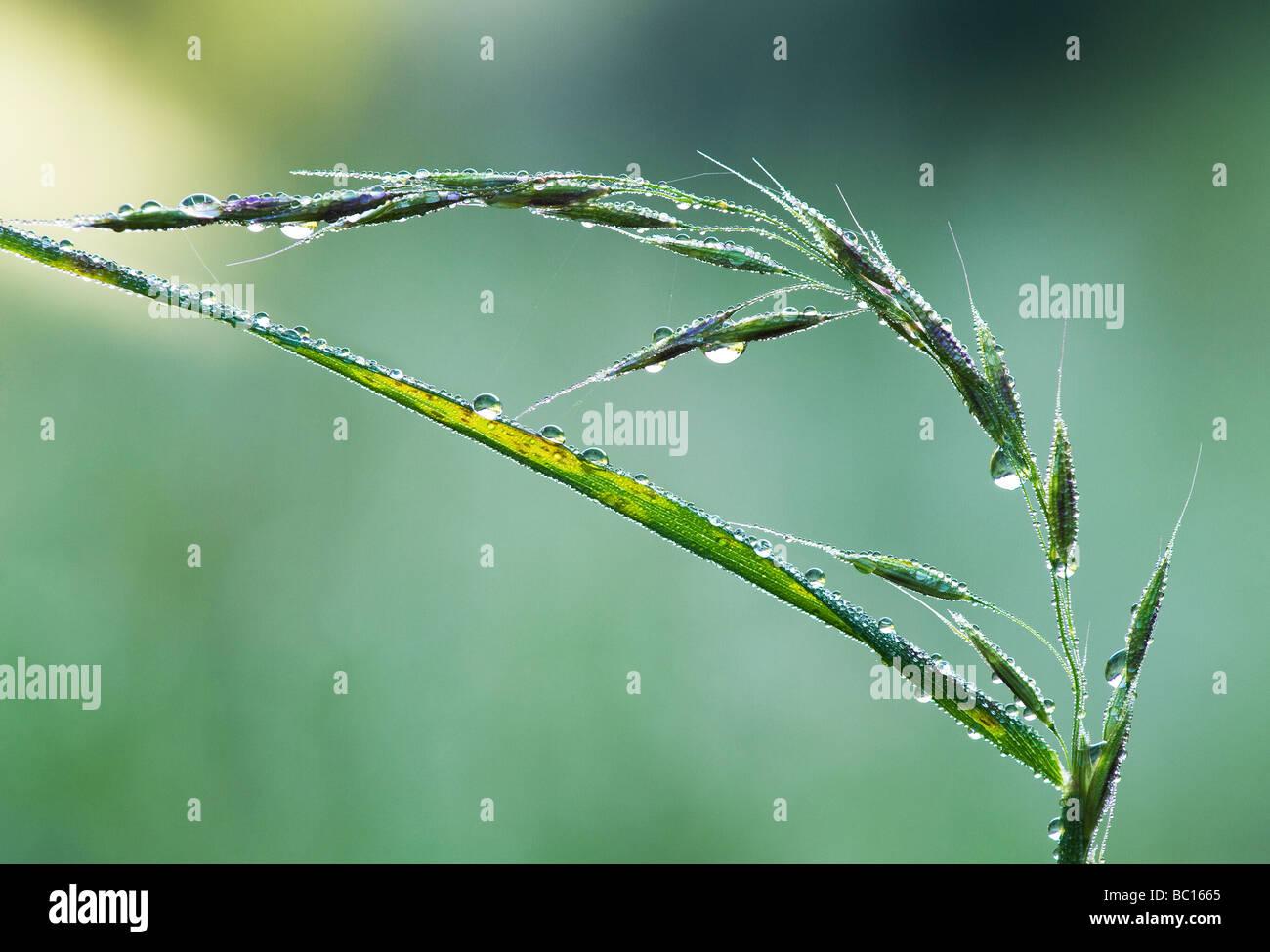 Wassertropfen auf Gräser und Samen Stockbild