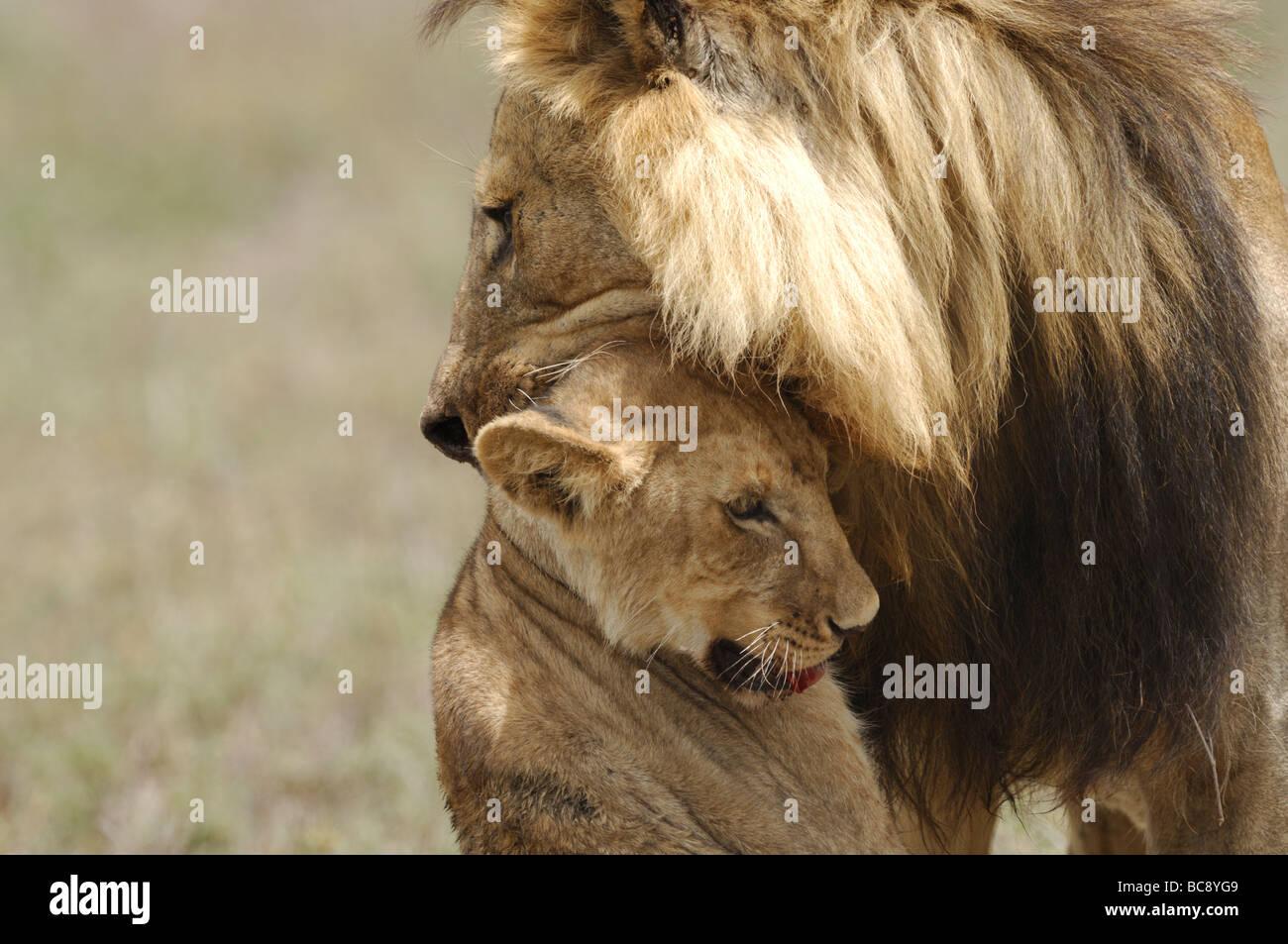 Stock Foto von einem großen männlichen Löwen angreifen und töten eine Cub, Ndutu, Tansania, Stockbild
