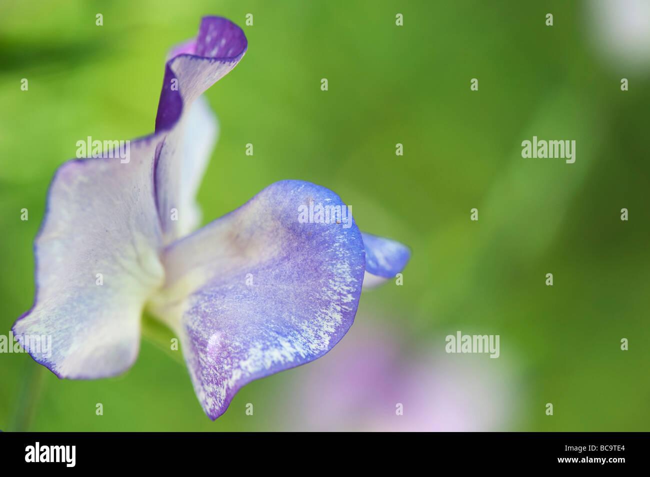 "Platterbse man, Sweet Pea ""Blaue Welle"" Blume Stockbild"