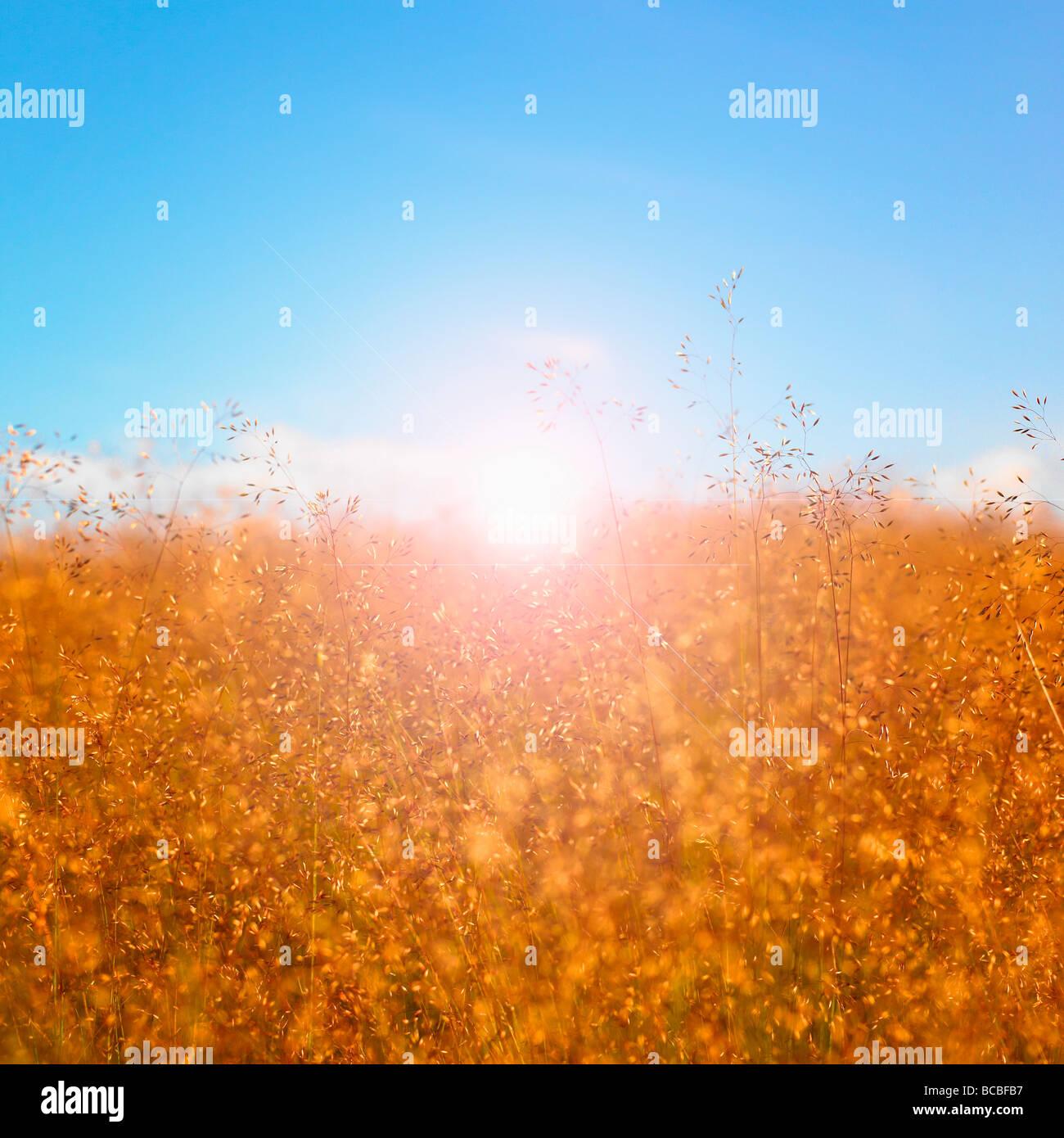 Grassamen Köpfe mit blauem Himmel und Sonne. Stockbild