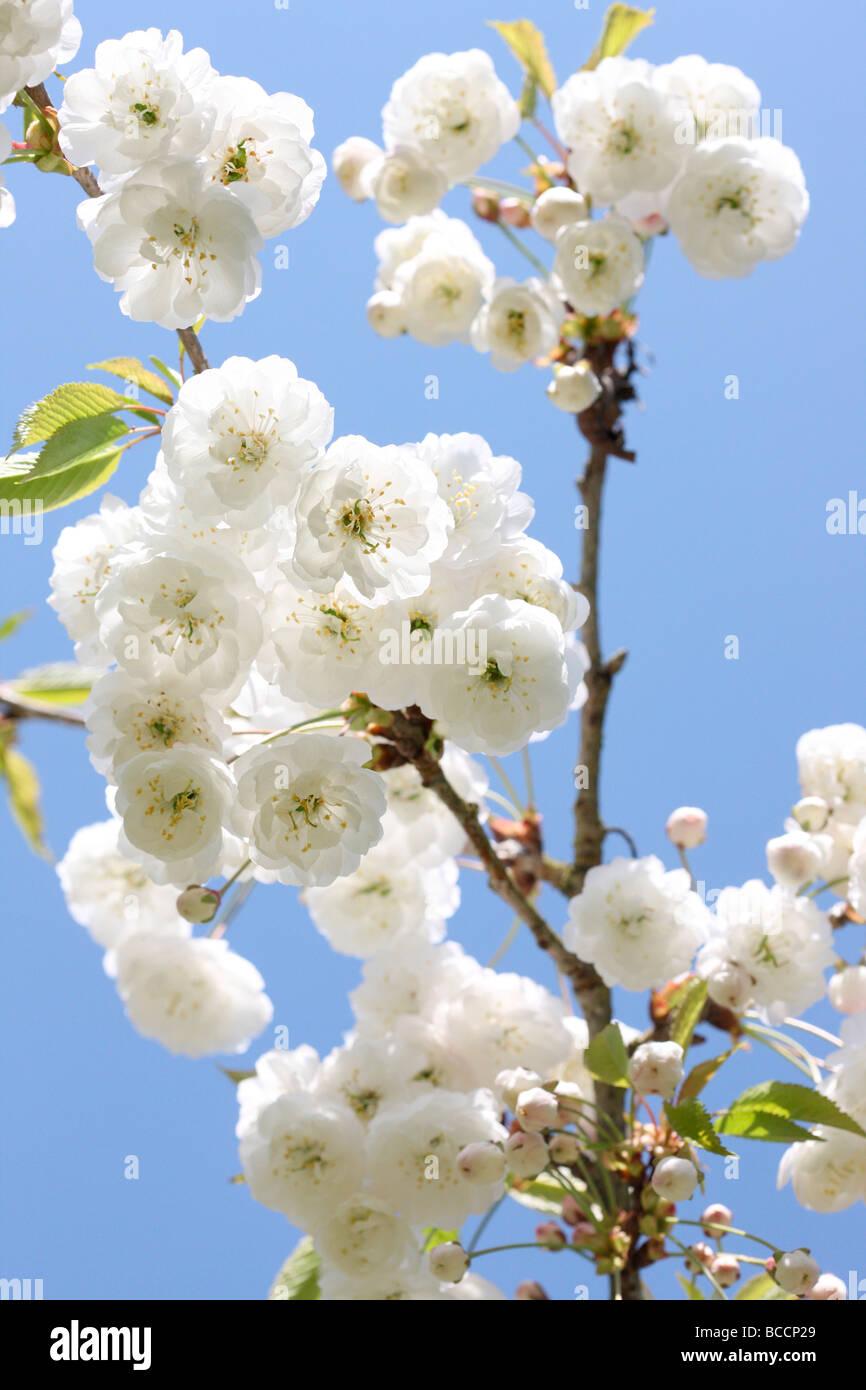 schöne Doppelzimmer Gean Blüte mit seiner charakteristischen weißen hängenden Cluster Stockbild