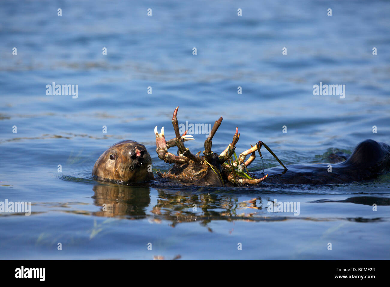 Weibliche Seeotter (Enhydra Lutris) verbraucht ein Schaf Krabbe in Elkhorn Slough, Moss Landing, Kalifornien. Stockbild