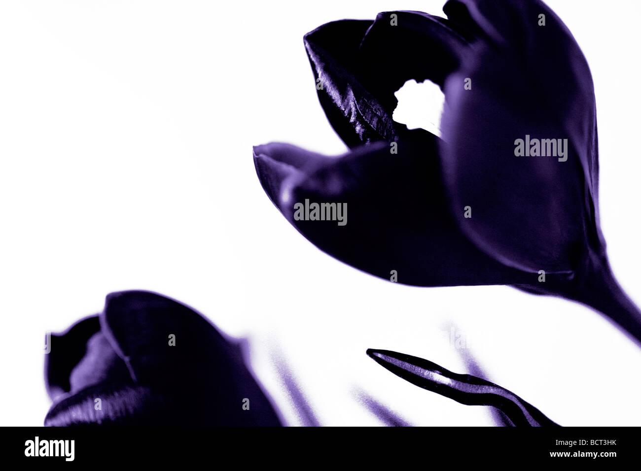 minimal und zeitgenössischen Bild von der klassischen Krokus als Duotone Kunstfotografie Jane Ann Butler Fotografie Stockbild