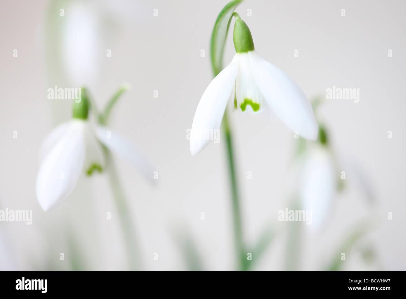minimal und zeitgenössischen Bild von der klassischen Schneeglöckchen Galanthus Kunstfotografie Jane Ann Stockbild