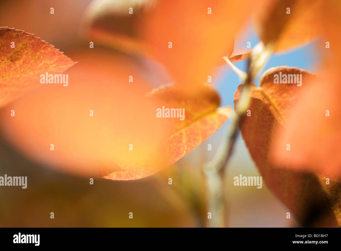 Herbstlaub, extreme Nahaufnahme Stockbild