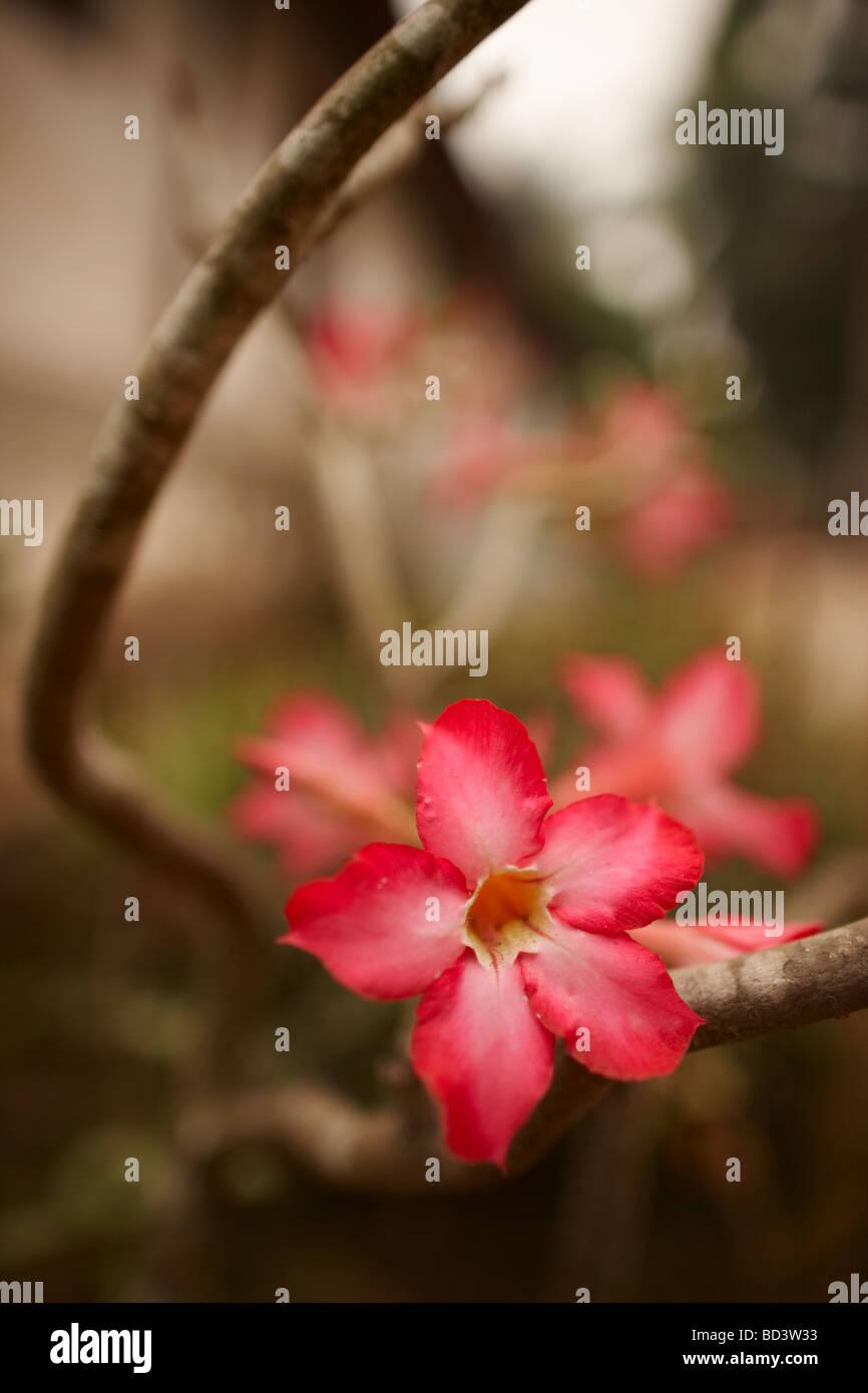 eine Orchidee, Luang Prabang, Laos Stockbild