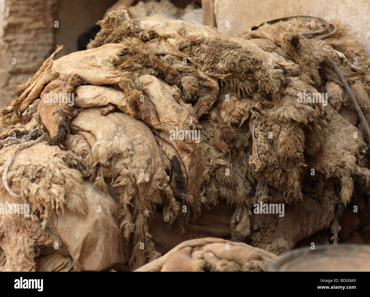 Versteckt sich in einer Gerberei Souk in der Medina von Fes Fez in Marokko in Nordafrika am 19. August 2009 abgebildet Stockbild
